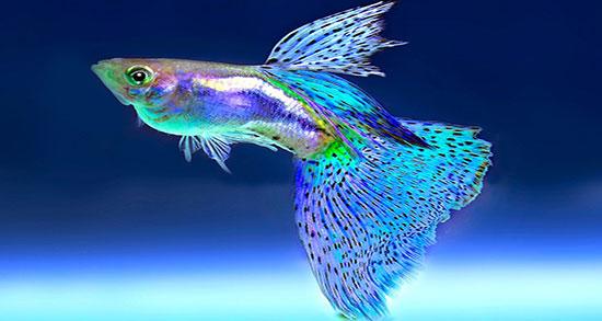 تعبیر خواب ماهی سفید و خرید و خوردن و دیدن ماهی سفید کوچک و بزرگ