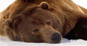 تعبیر خواب دیدن حمله خرس قهوه ای به انسان چیست